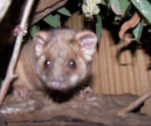 Brushtao Possum