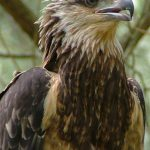 Native Animal Trust Fund - Sea Eagle