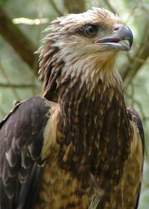 Native Animal Trust Fund - Sea Eagle