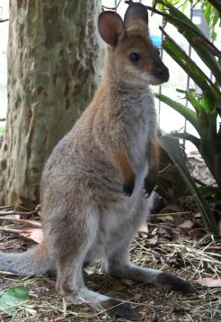 Sasha the wallaby