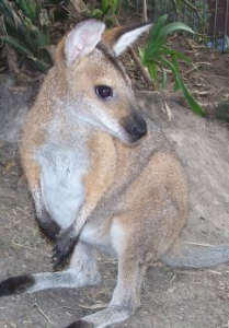 Rocket the wallaby