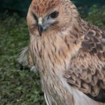 Spotted Harrier8