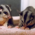 Squirrel Glider babies