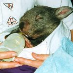 Wombat baby with bottle