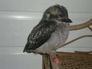 orphaned kookaburra