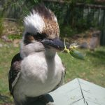 Kookaburra with snack for orphan