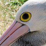 NATF-Pelican