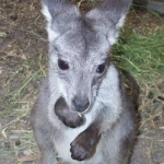 William the Wallaroo