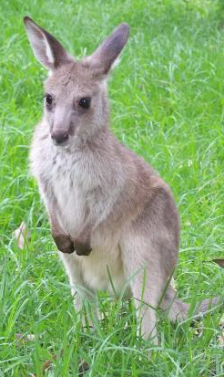 Jackson the Eastern Grey Kangaroo
