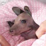 Saxon the grey eastern kangaroo