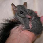 Brush Tail Phascogale