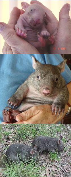 Benny the wombat