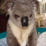 Chris the koala
