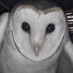 Jelly Beans the Barn Owl