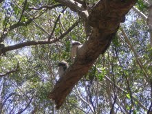 Orphan kookaburra released joins new family