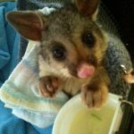Orphaned brushtail