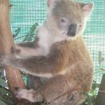 Denise Koala - Loses aviary home in storms