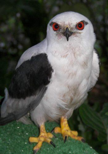 Black shouldered Kite adult