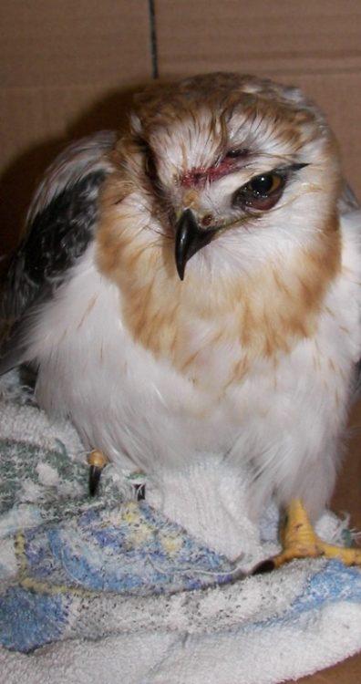 Black shouldered Kite juvenile