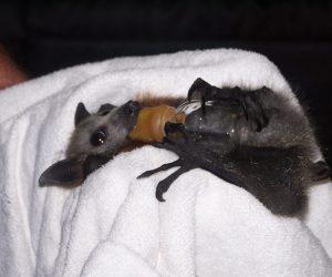 Flying fox held by carer