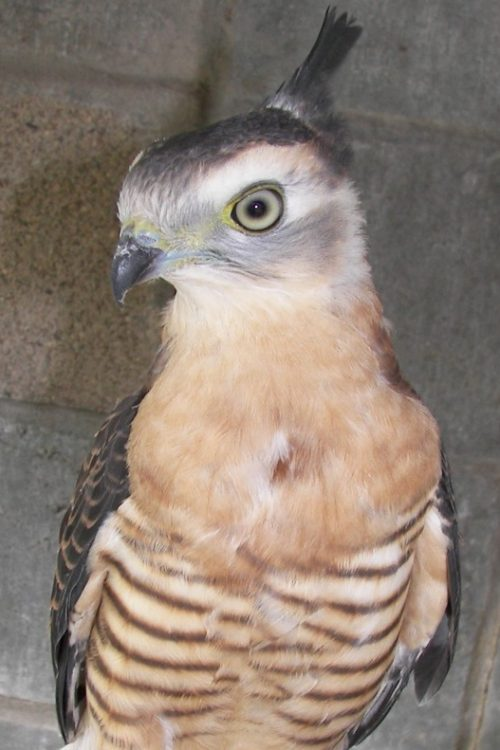 Pacific Baza or crested Hawk 2