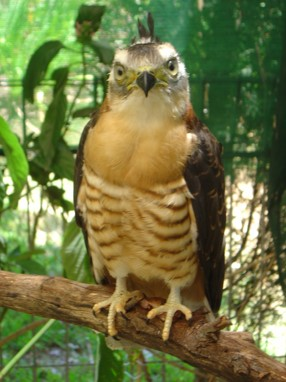 Pacific Baza or crested Hawk