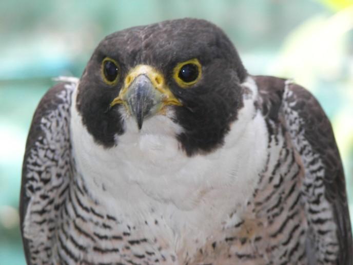 Birds of Prey – Raptors