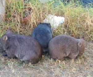 3 wombats_result