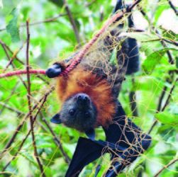 Flying fox friendly Nets for fruit trees