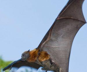 Flying fox wings open