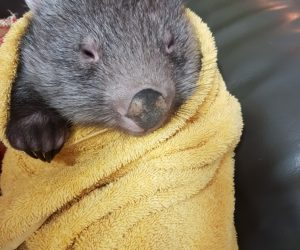Wombat in towel