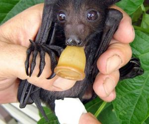 Young flying fox