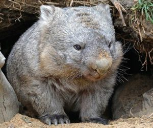 common-wombat-03_result
