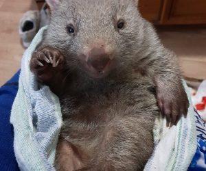 wombat 6_result