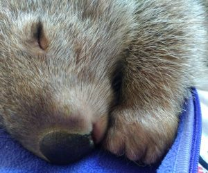wombat asleep 2