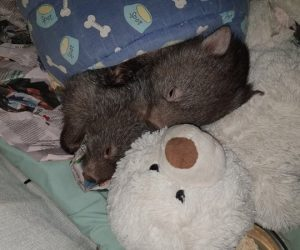 wombat with teddy_result