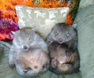 wombats asleep_result