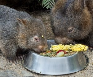 wombats eating 2_result